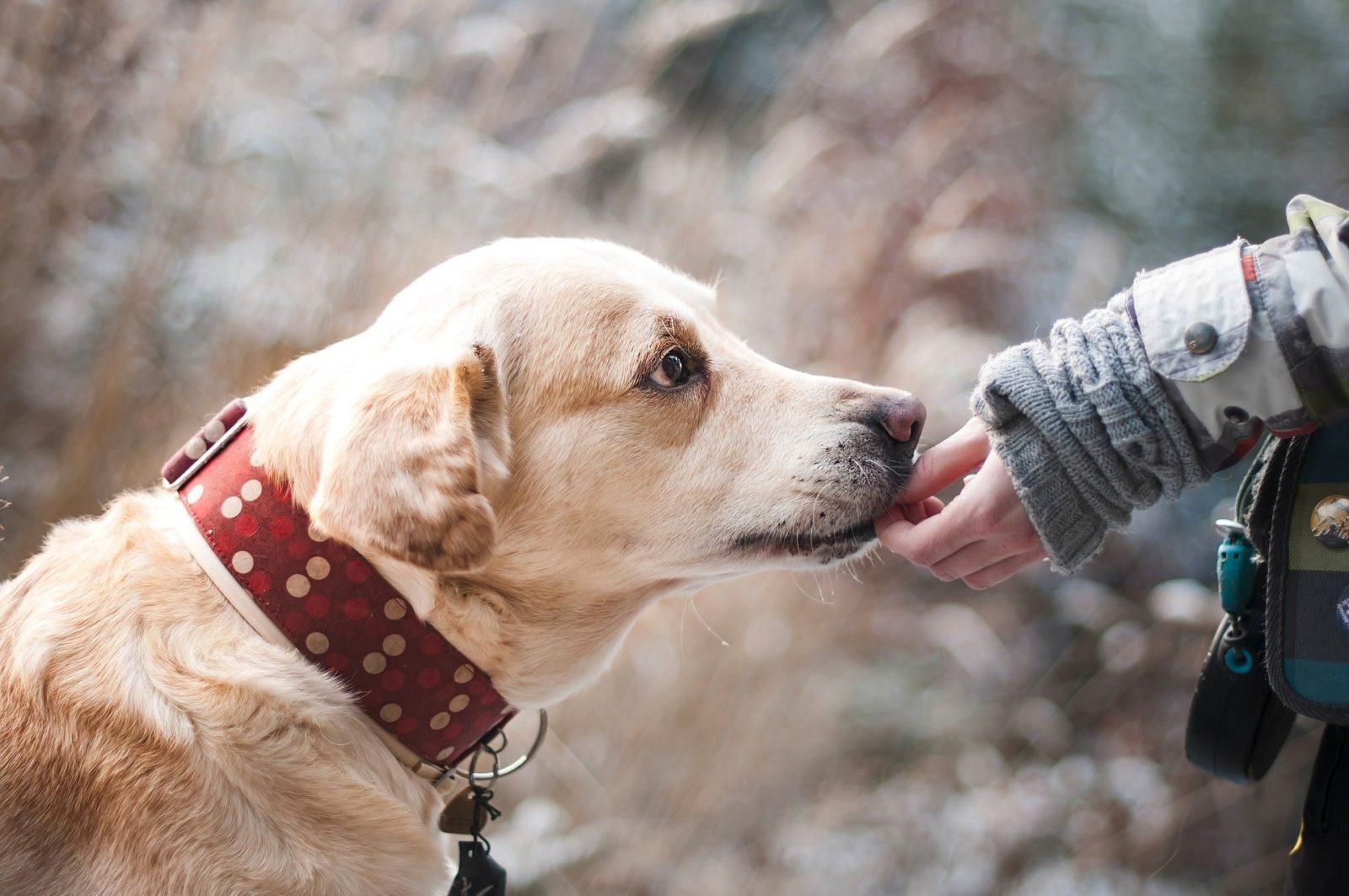 pies liże rękę podczas wizyty w salonie groomerskim