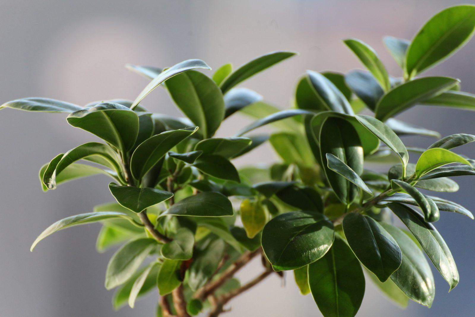 figowiec rośliny trujące dla kota