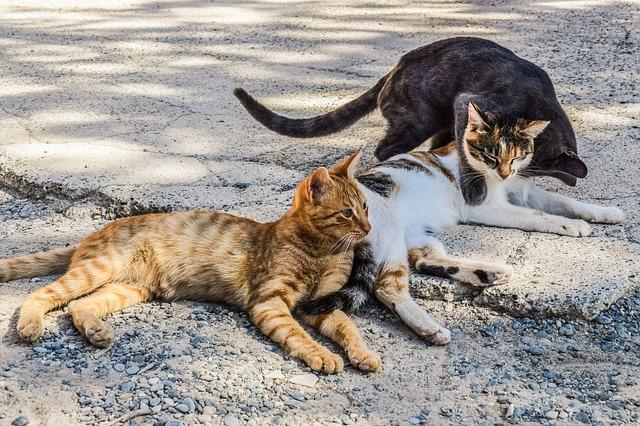 agresja-między-kotami