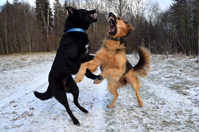 agresja-między-psami