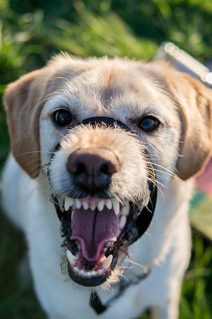 agresja-u-psów-w-stosunku-do-domowników
