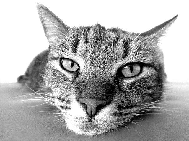 akromegalia-u-kotów-nadmiar-hormonu-wzrostu