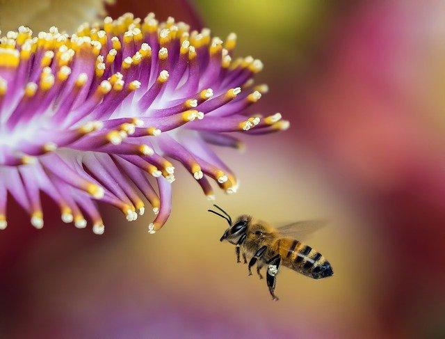 użądlenia-owadów-pszczoła
