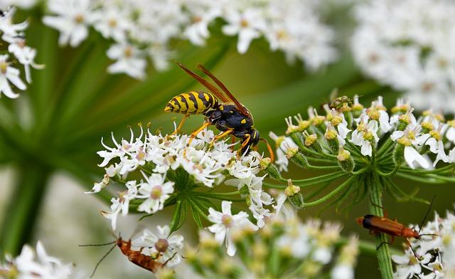użądlenia-owadów-szerszeń