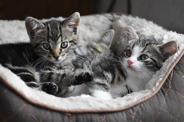 białaczka-kotów