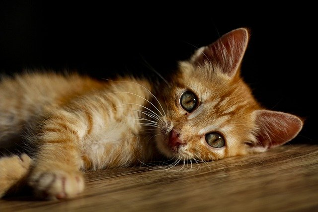 wybrane choroby wirusowe kotów