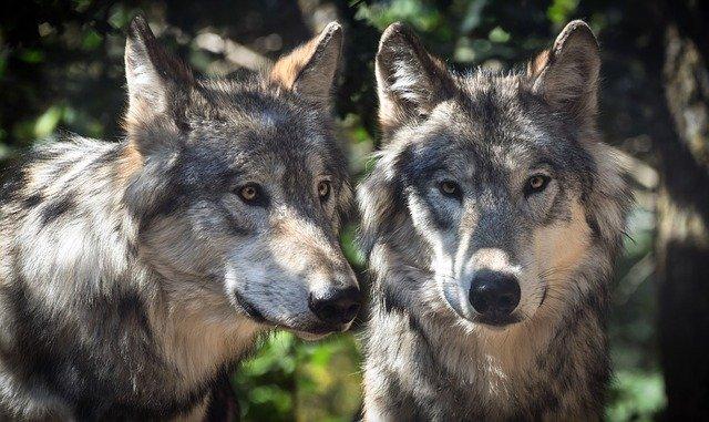 wilki-sprawozdanie-2020